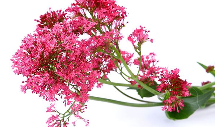 Les produits de la phytothérapie : la valériane