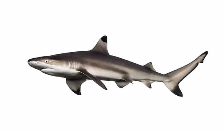 Les bienfaits de l'huile de foie de requin