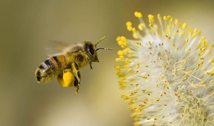 Pollen et abeilles : quels bienfaits?